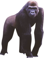 Browse And Download Gorilla Png Pictures image #37876