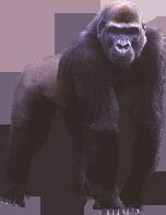 Gorilla Png image #37876
