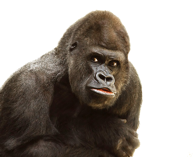 Download Gorilla High-quality Png image #37855