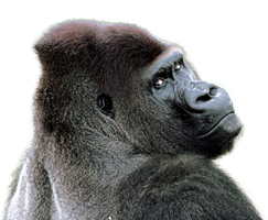 Browse And Download Gorilla Png Pictures image #37860
