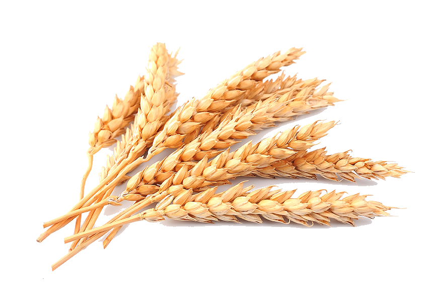 Grain Wheat Images