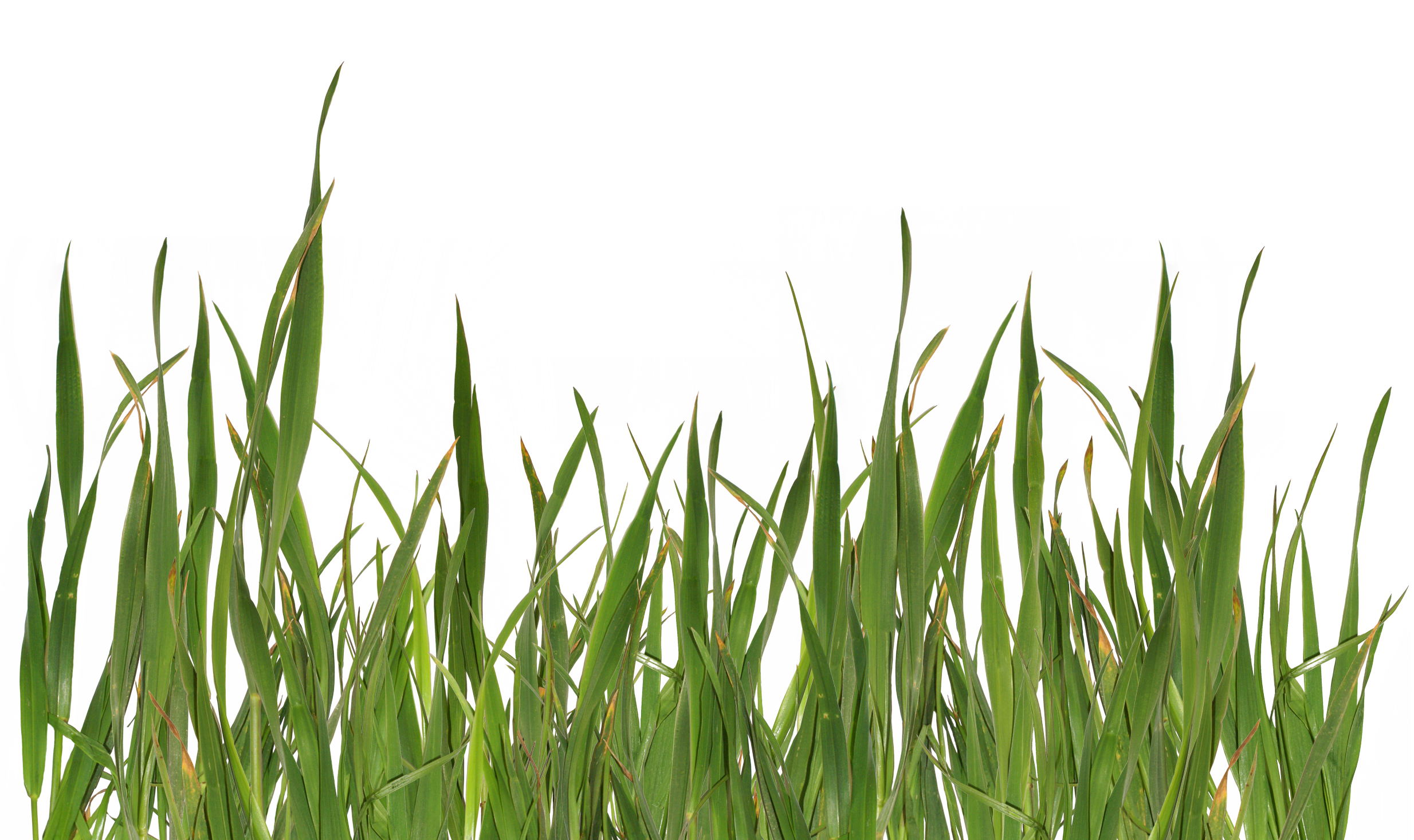 Grass Png Image image #4754