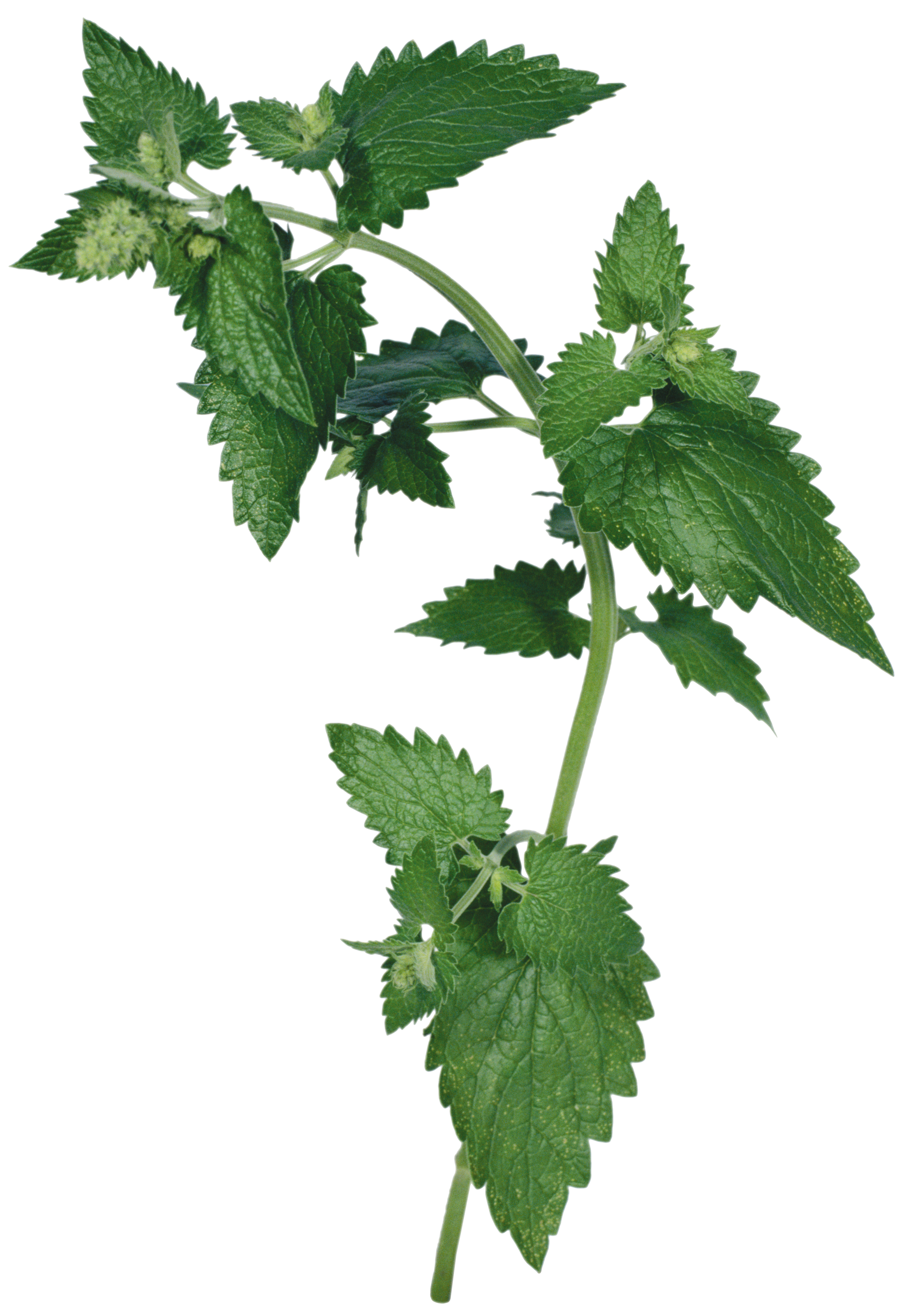 Great High Resolution Images Natural Nettle image #48493