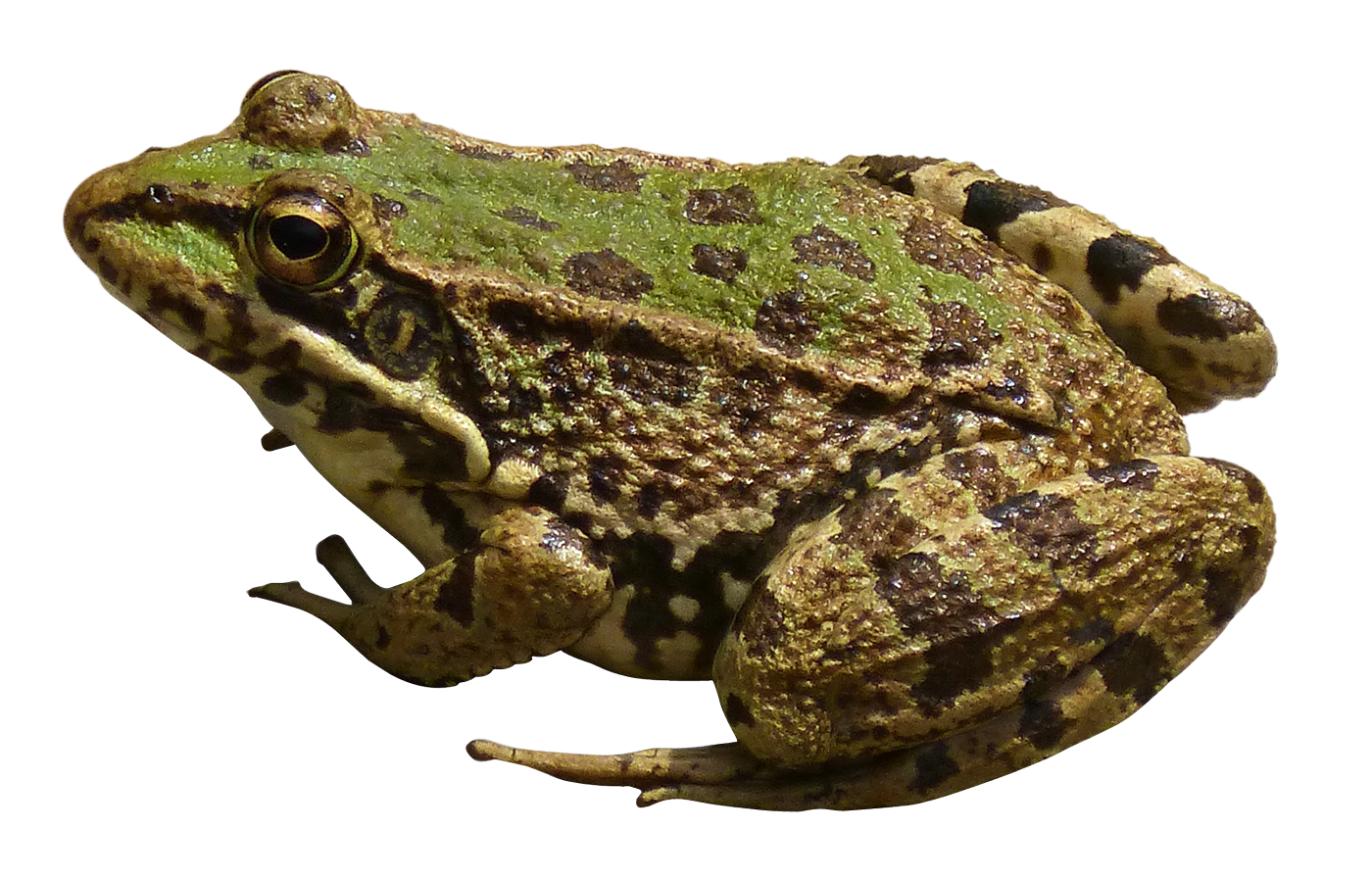 Green Frog PNG Transparent