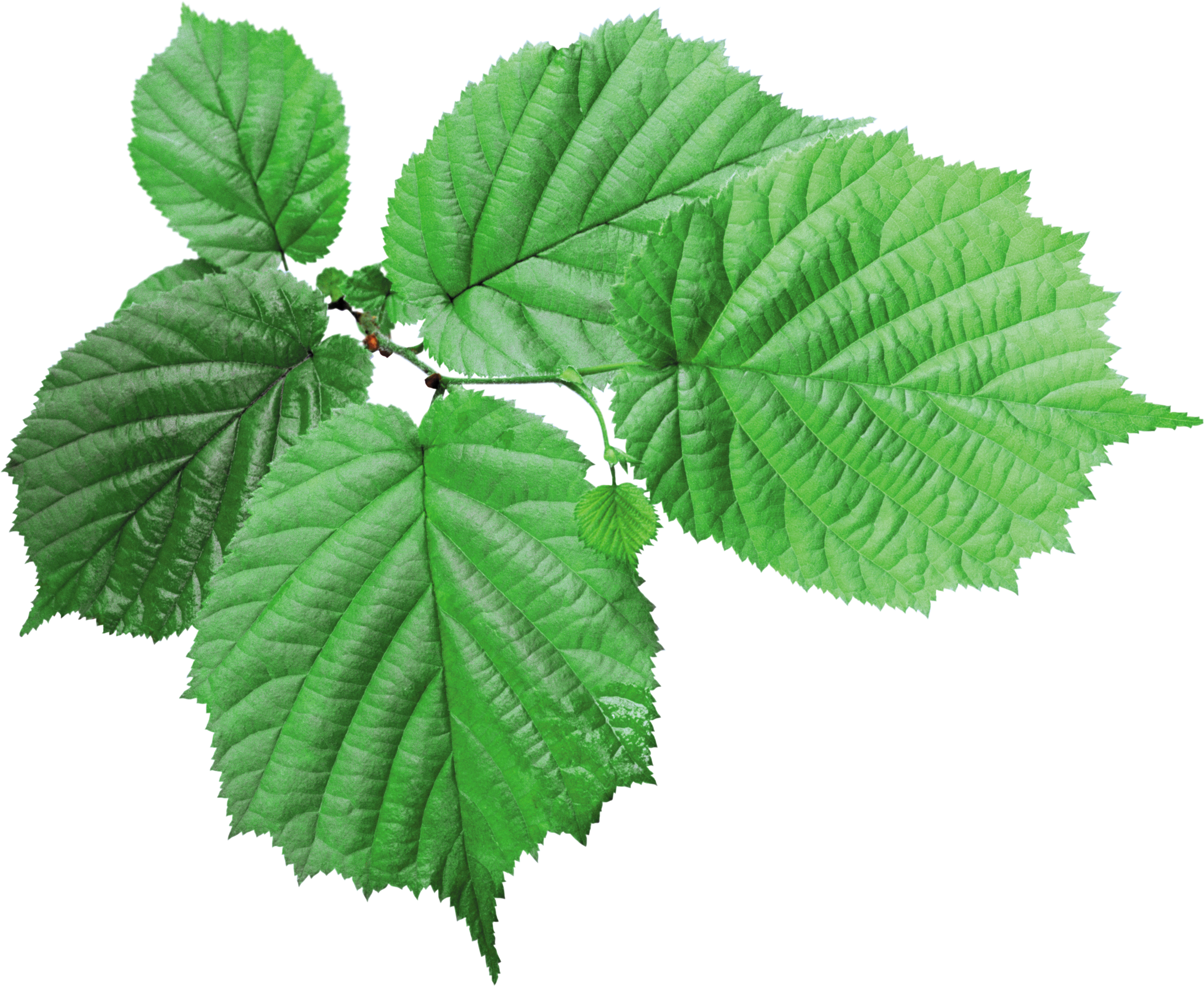 green, leaf, leaves png image