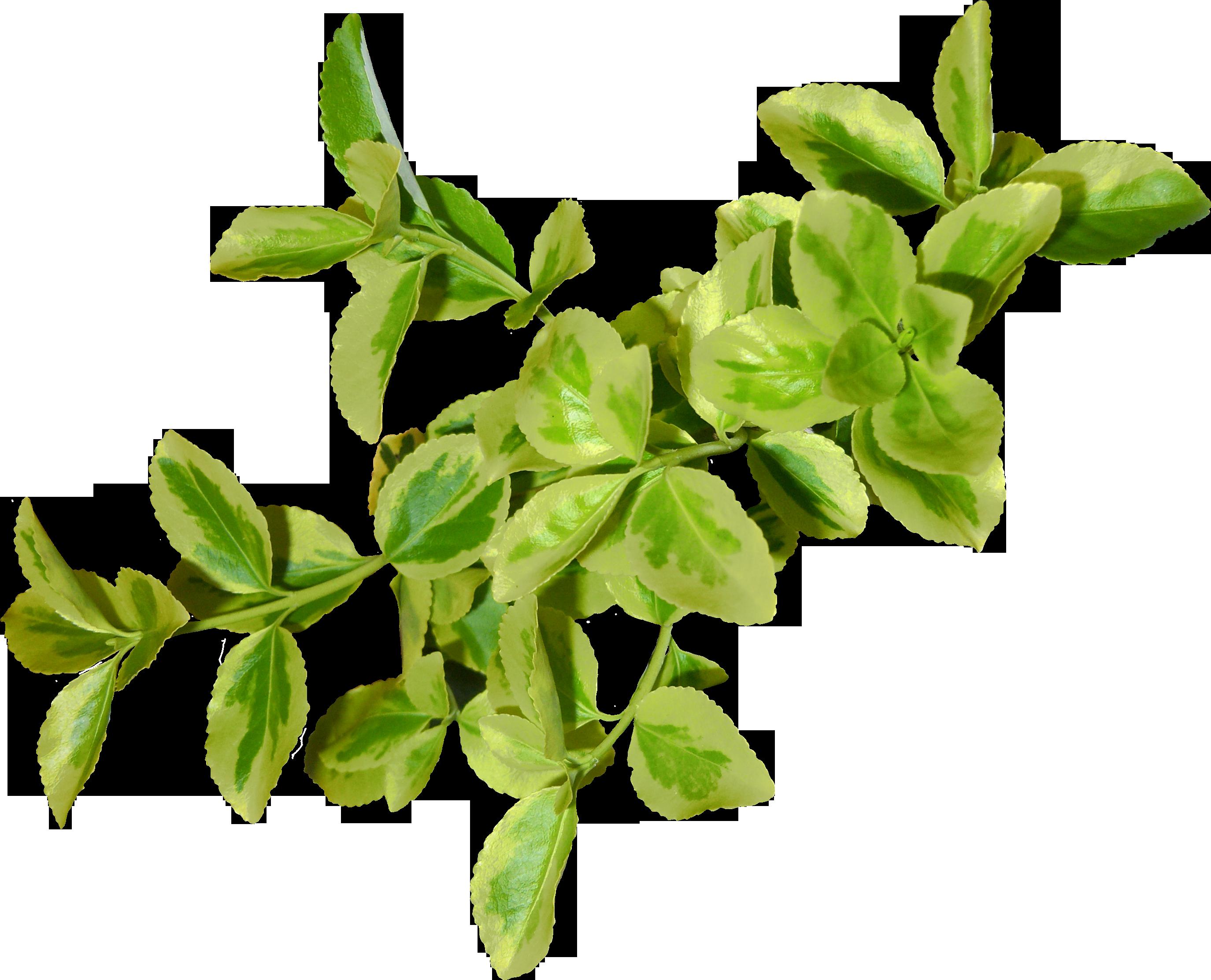 Green Leaf Png image #44858