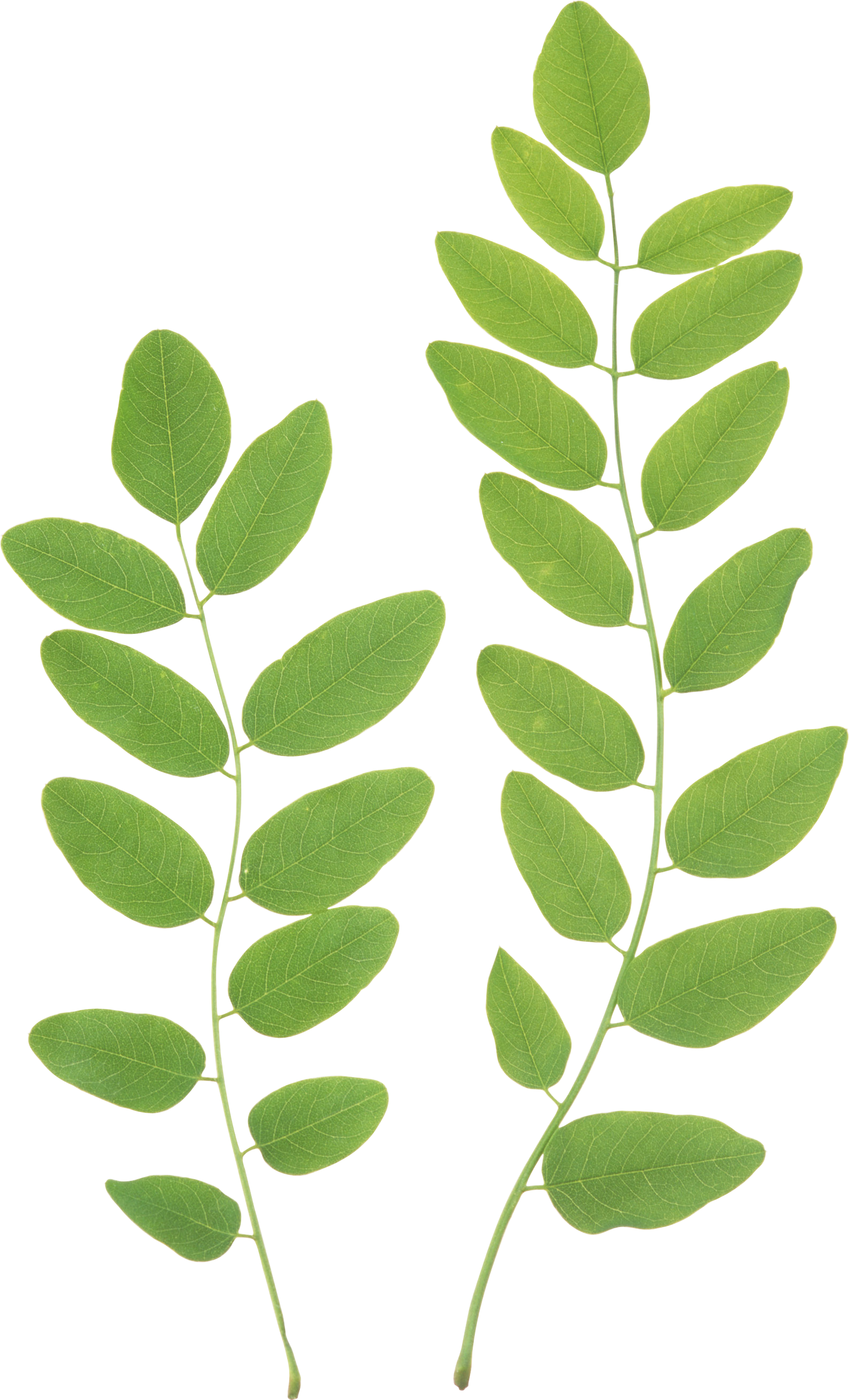 Green Leaf Png image #44865