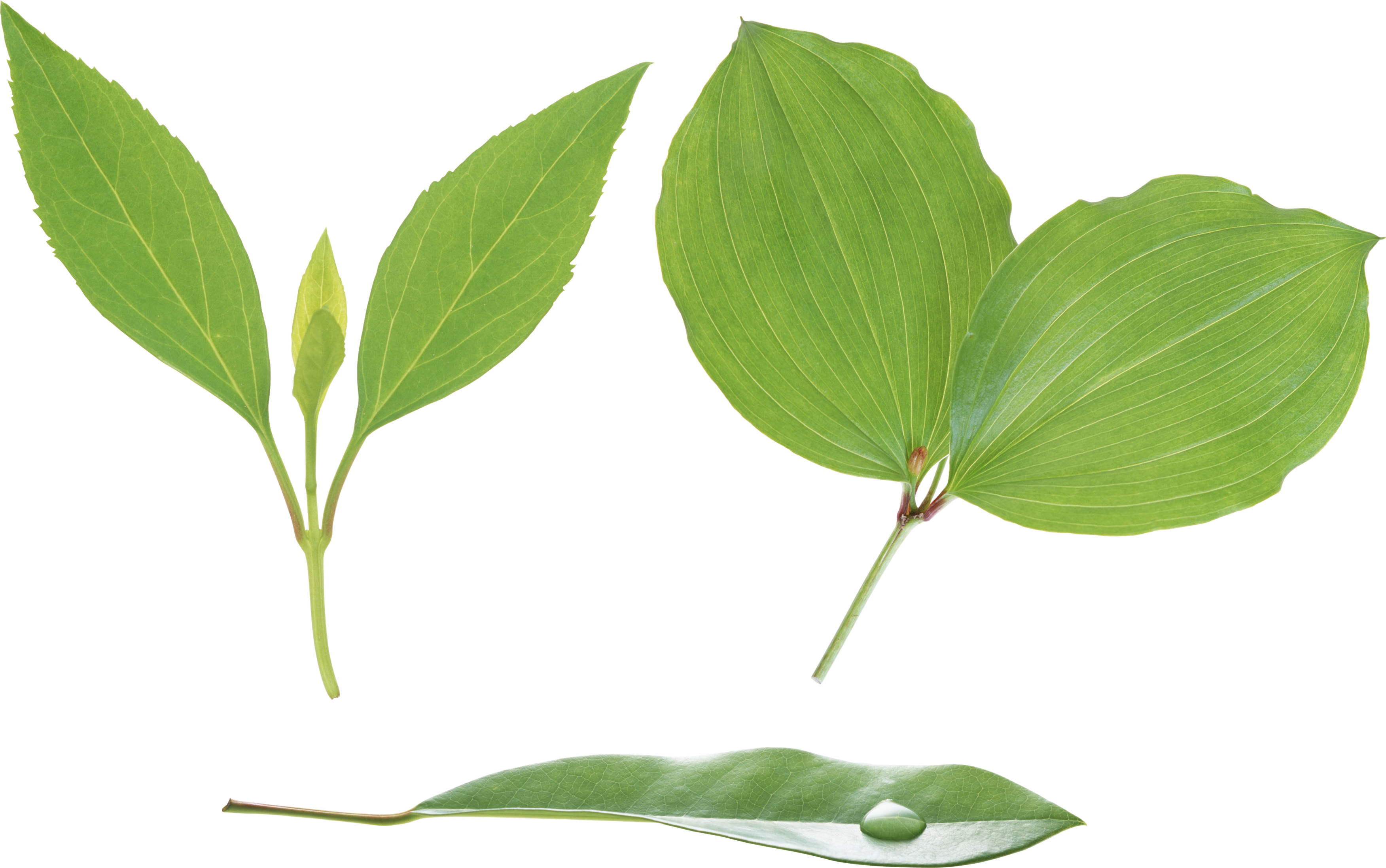 green leaf png hd