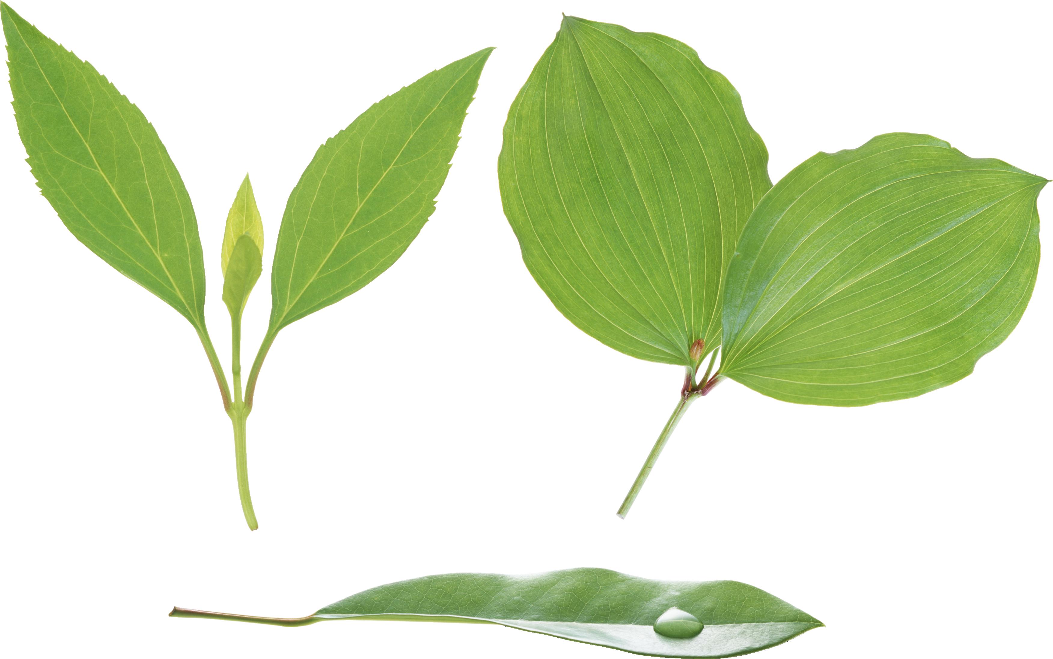 Green Leaf Png Hd image #44868