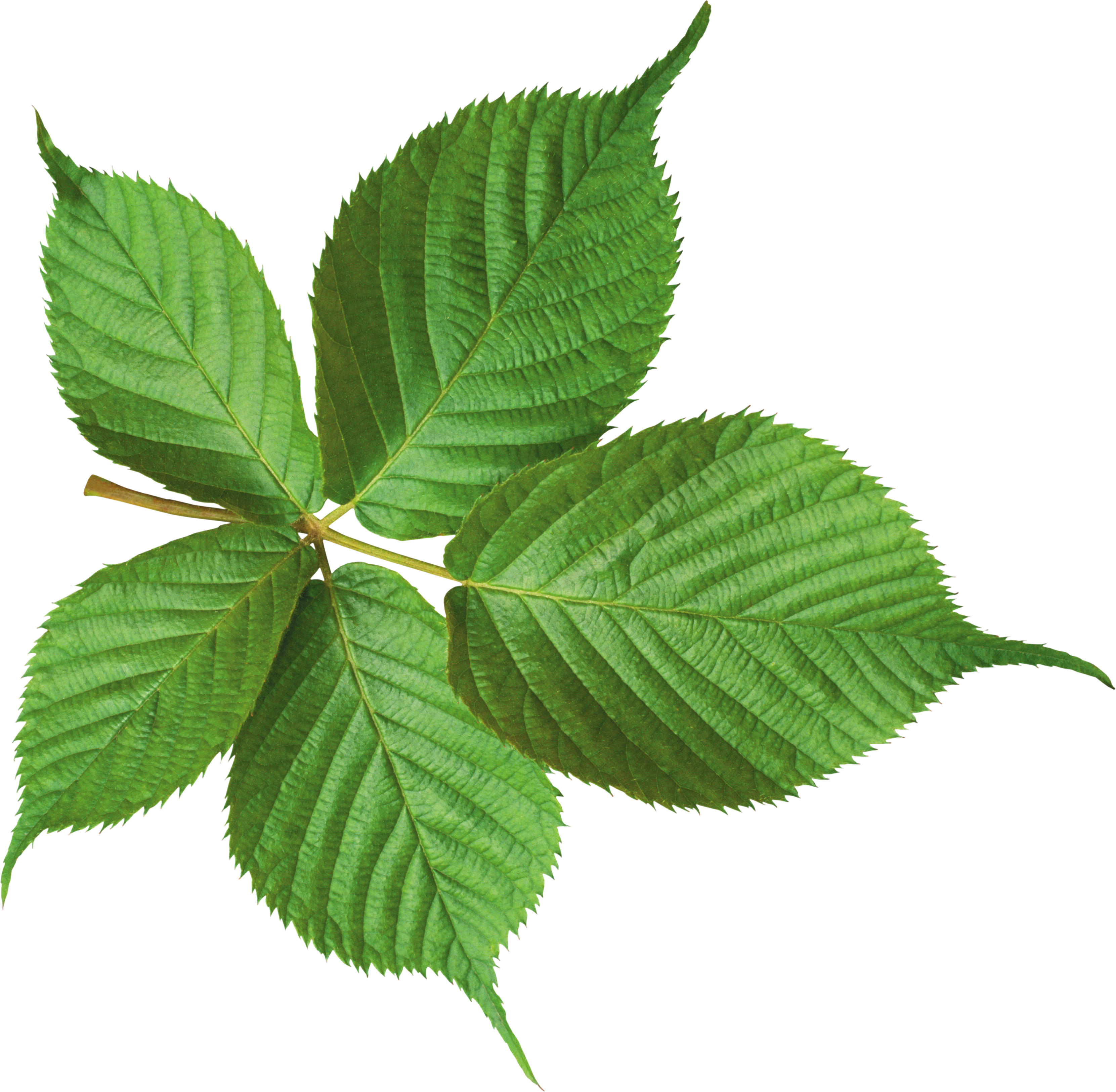 green leaf png hd photo