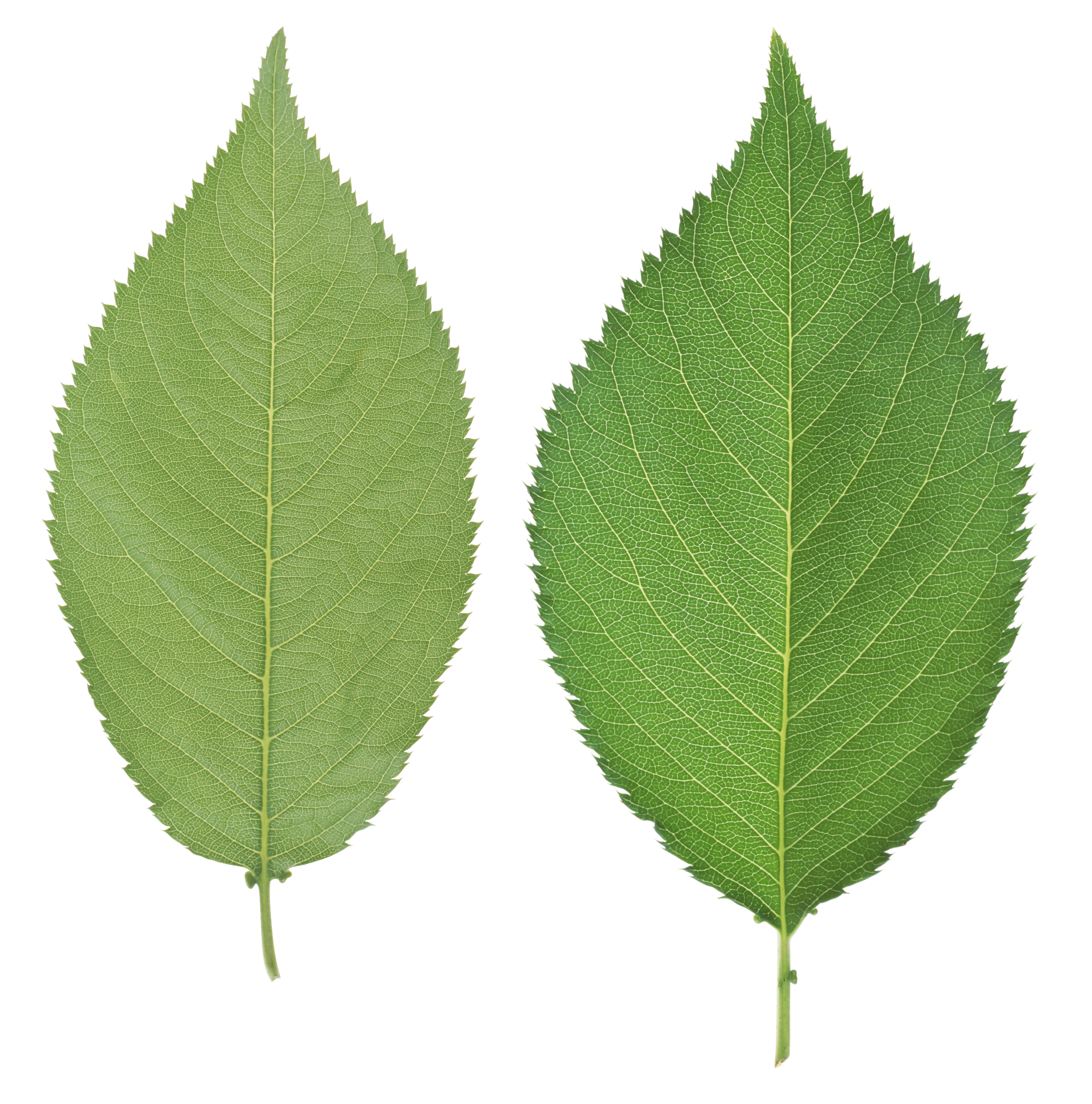 Green Leafs Png image #44866