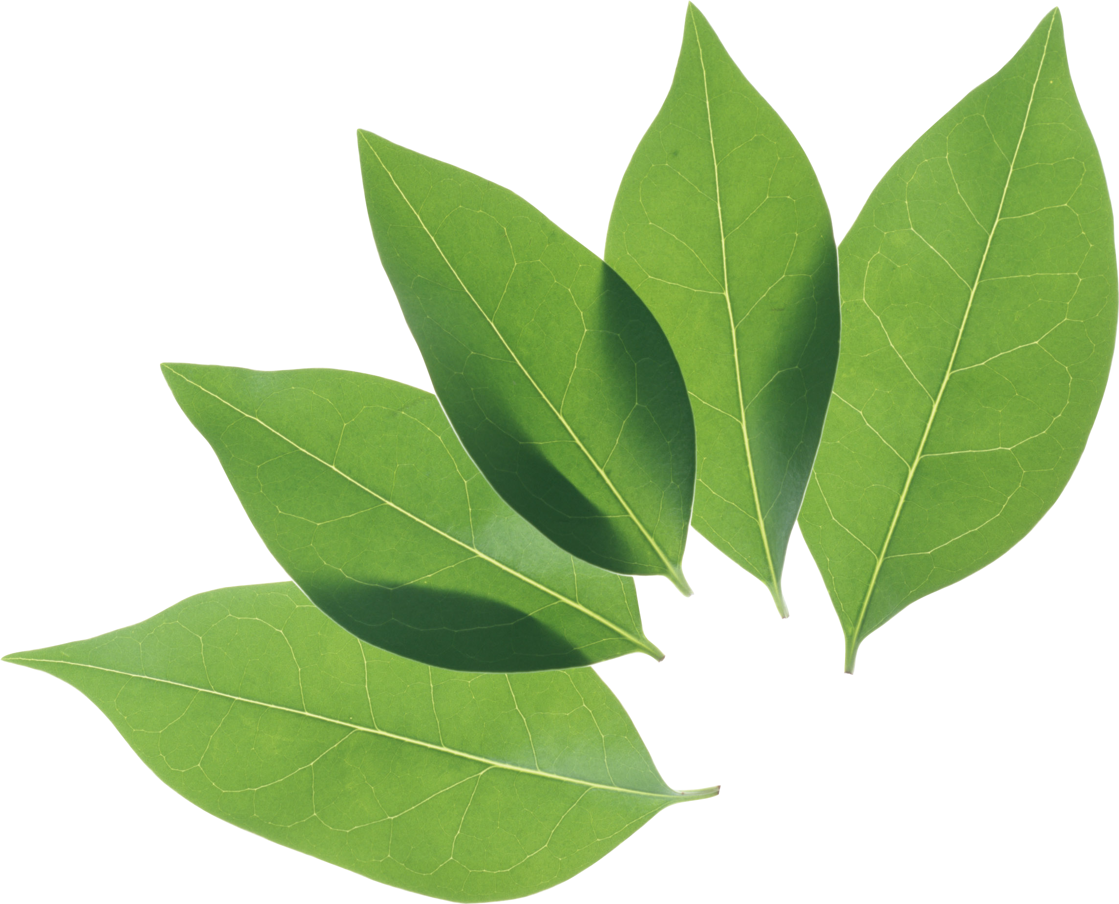 green leaves png image