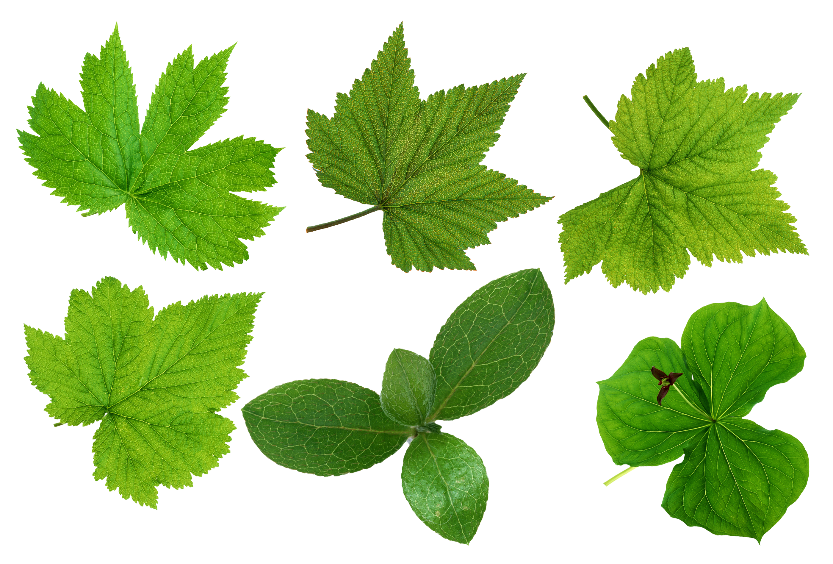 Green Leaves Png Images image #44872