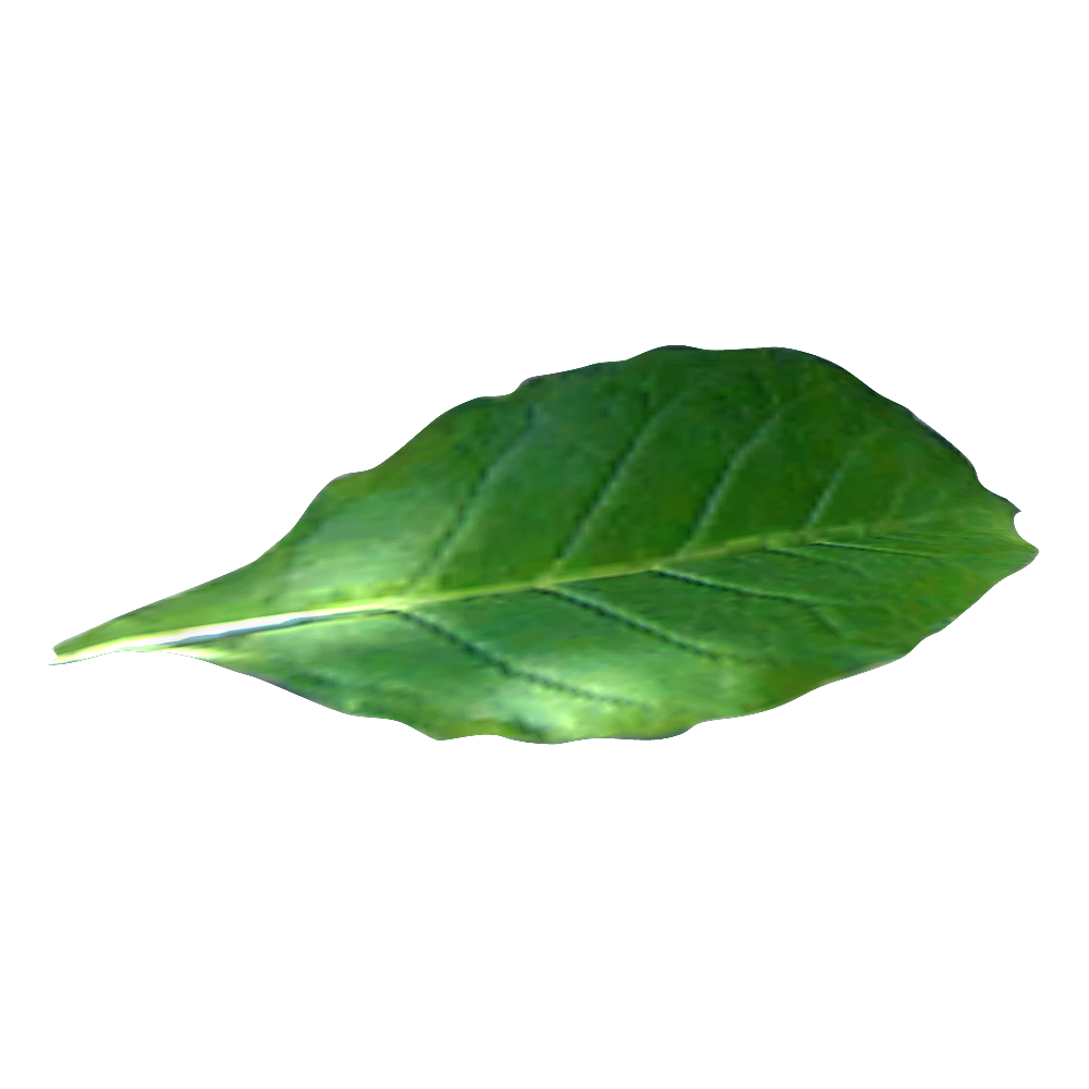 green tobacco leaf alone photo