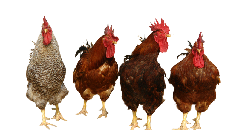 Group Chicken Team Png image #40290