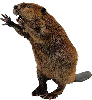 Hd Combative Beaver Transparent Background