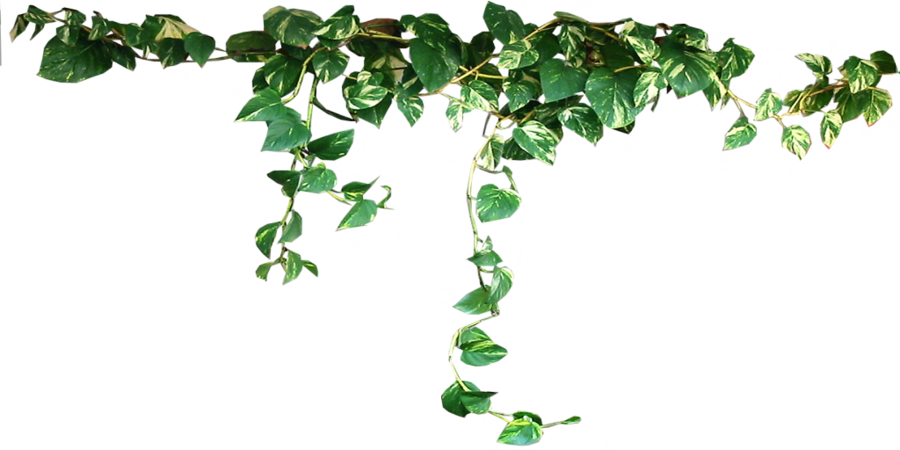 Hd Ivy Vine Png 43652 Free Icons And Png Backgrounds