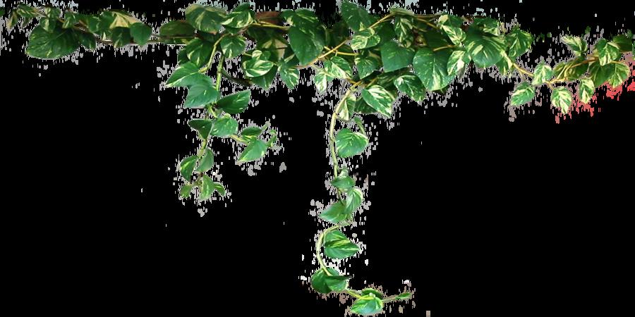HD Ivy Vine Png image #43652