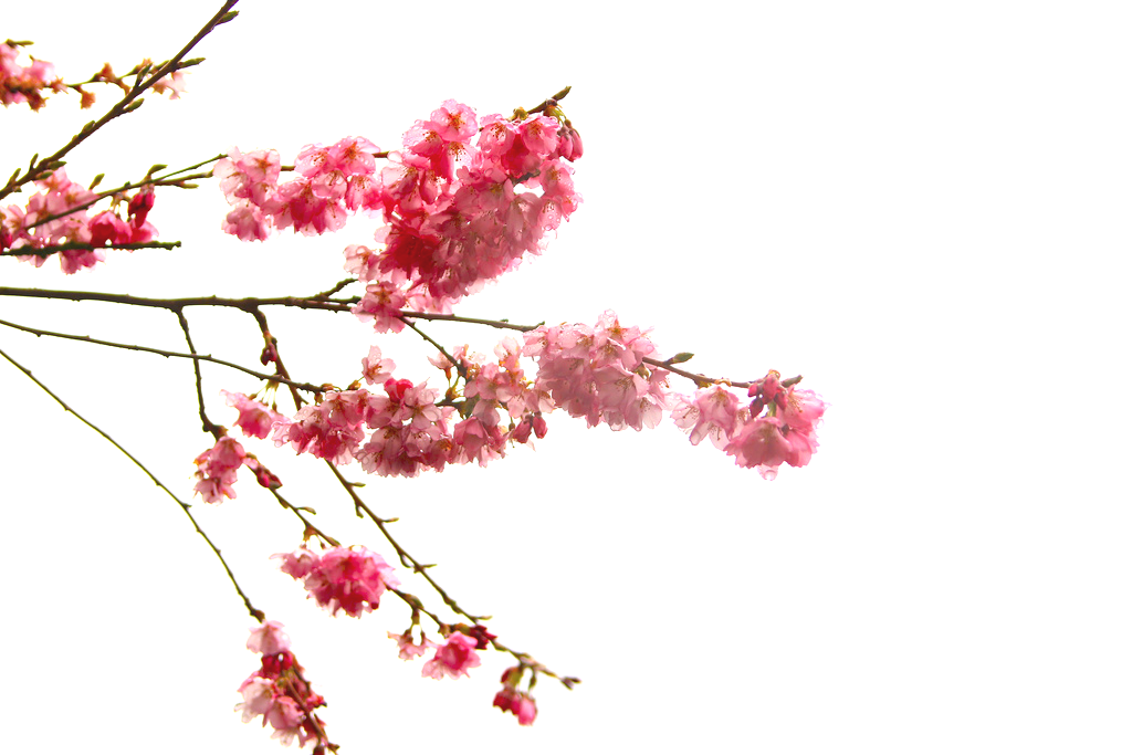 High-quality Cherry Blossom Cliparts image #45498