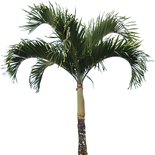 High Quality Real Palm Tree Png image #43073