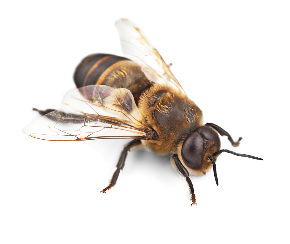 High Resolution Bee Png Clipart image #45397