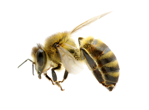 High Resolution Bee Png Icon image #45399