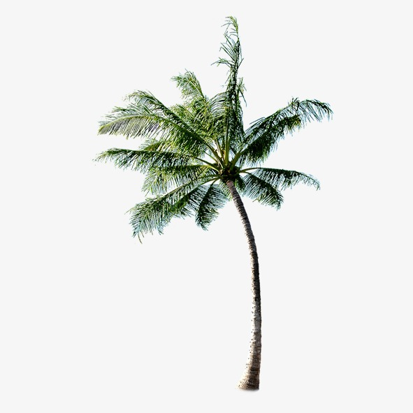 High Resolution Coconut Tree Png Clipart