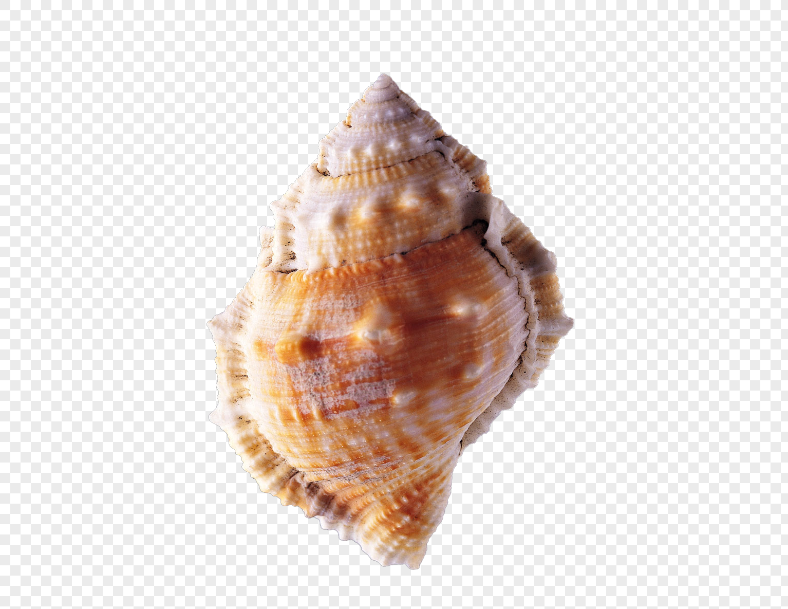 High Resolution Conch Png Clipart image #48548