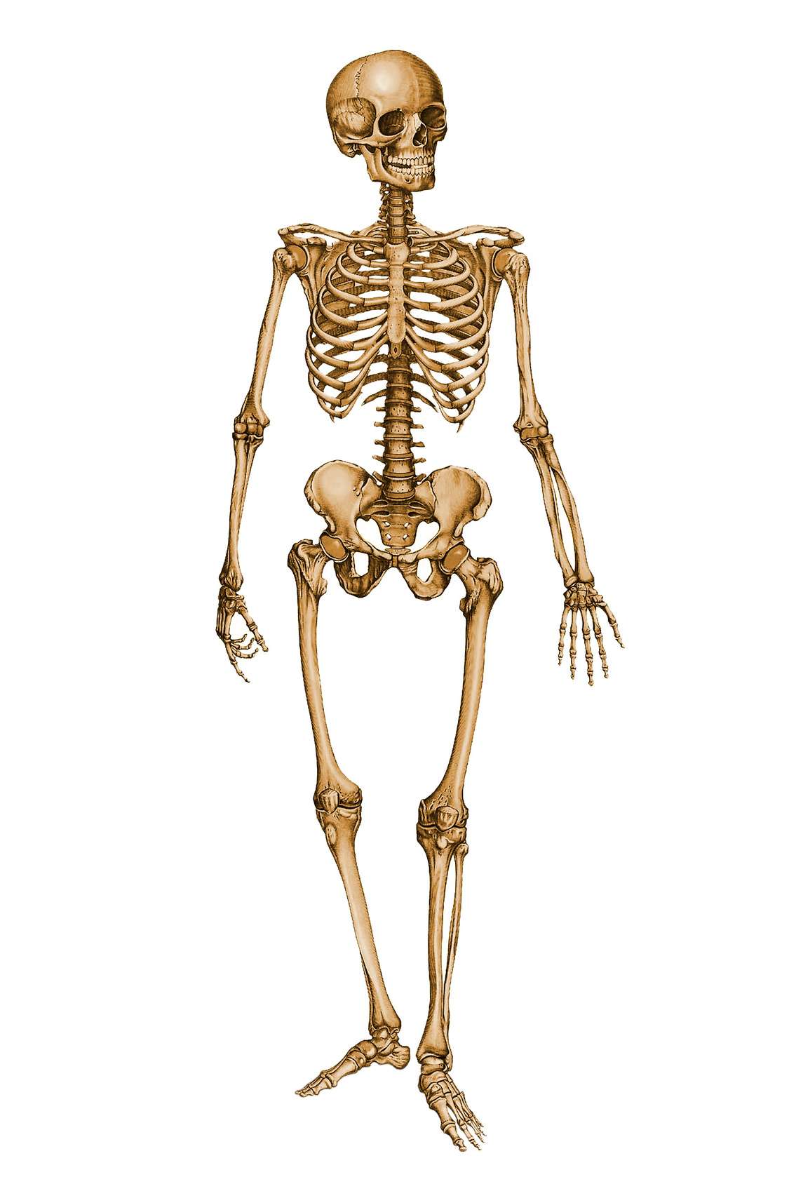 Human Skeleton 5314 Free Icons And Png Backgrounds