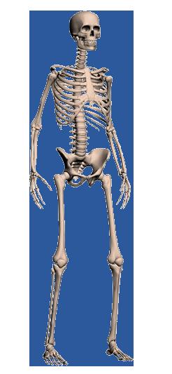 Human skull png