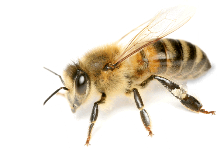 Image PNG Bee image #45417