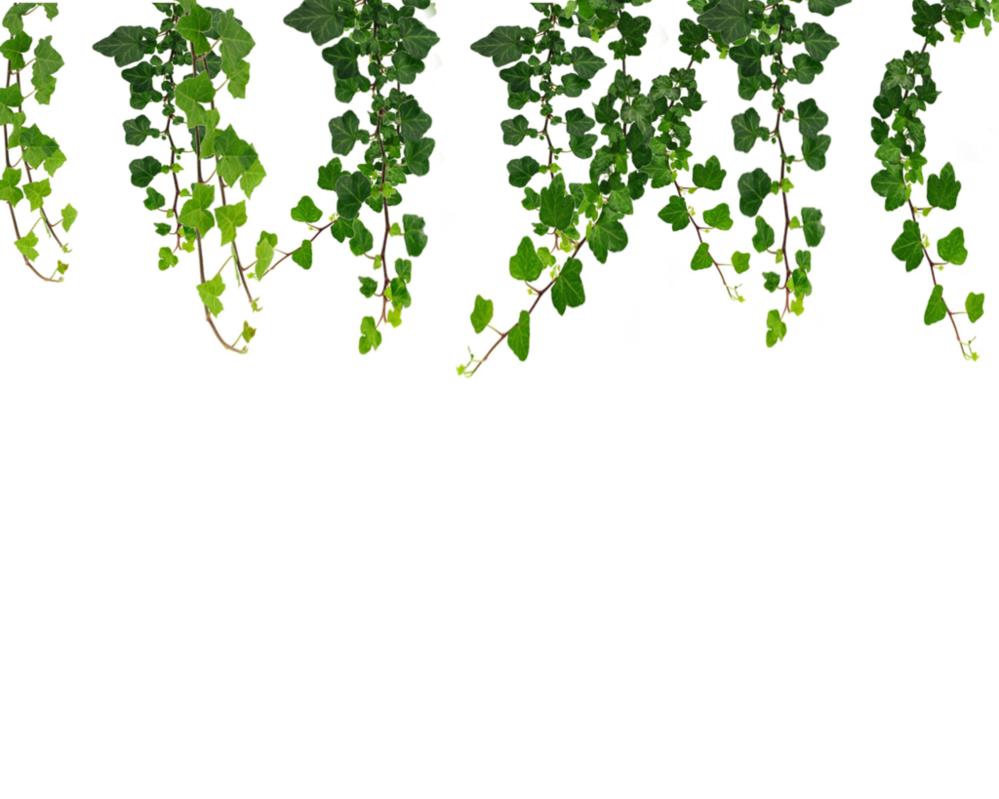 Ivy Hanging vines png