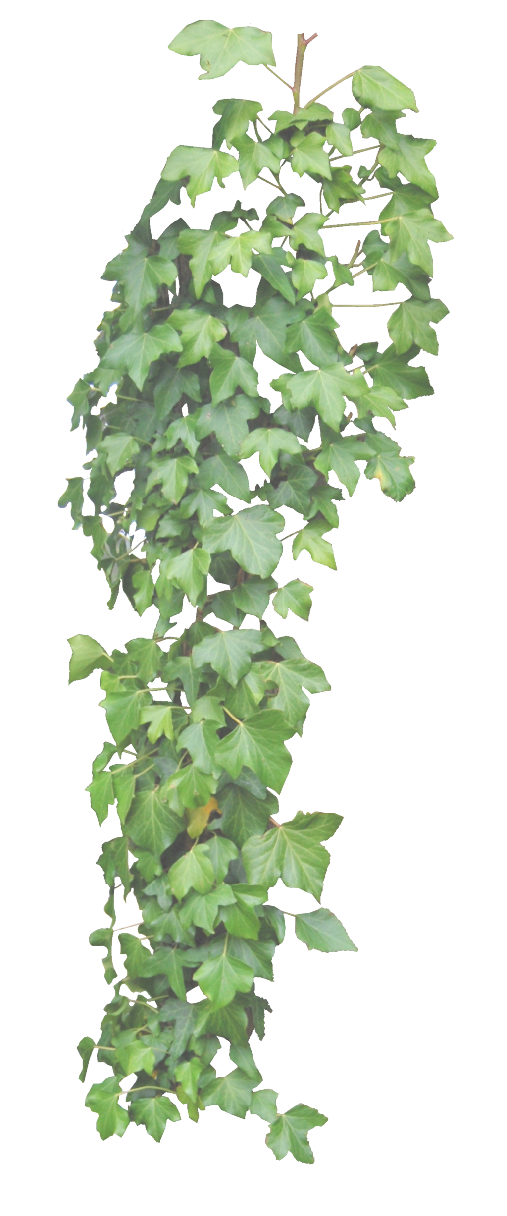 Ivy HD Transparent Background