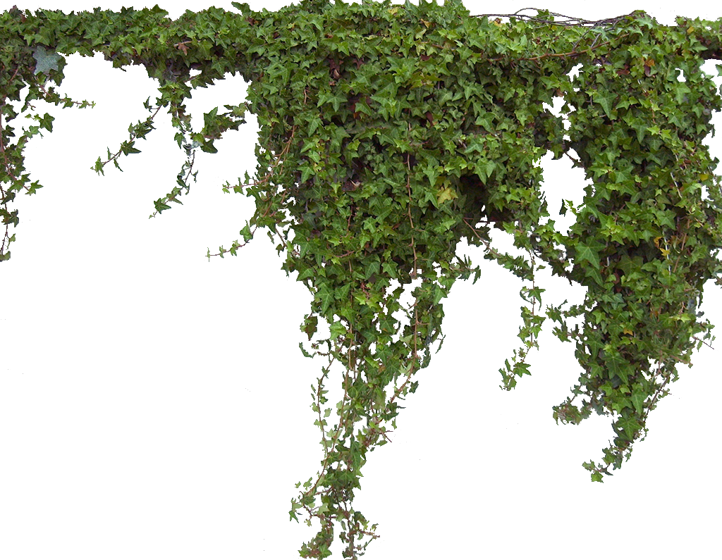 Ivy Plant PNG Image image #46856