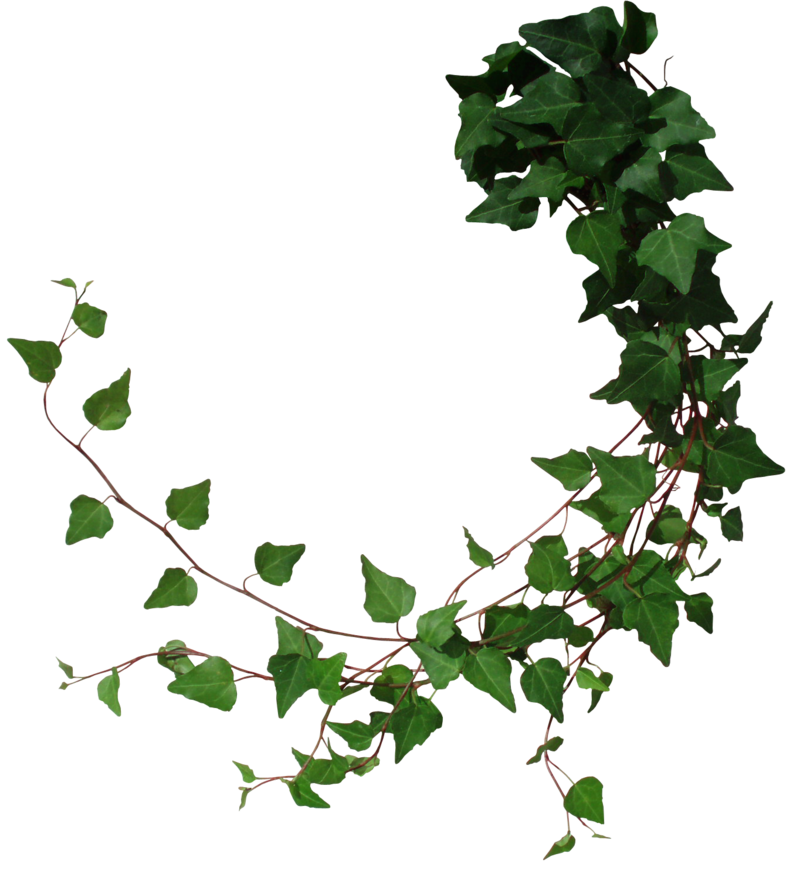 Ivy Png ClipArt image #43676