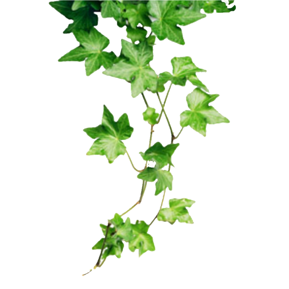 Ivy PNG HD image #46874