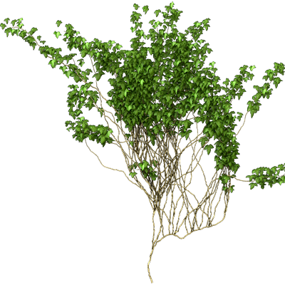 Ivy Vine Png Picture