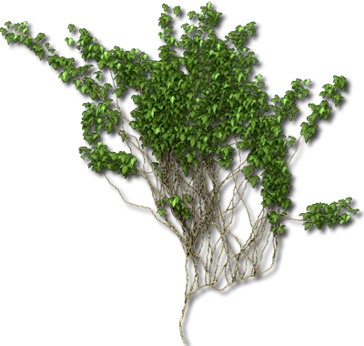 Ivy Vine PNG Picture 5 image #46858
