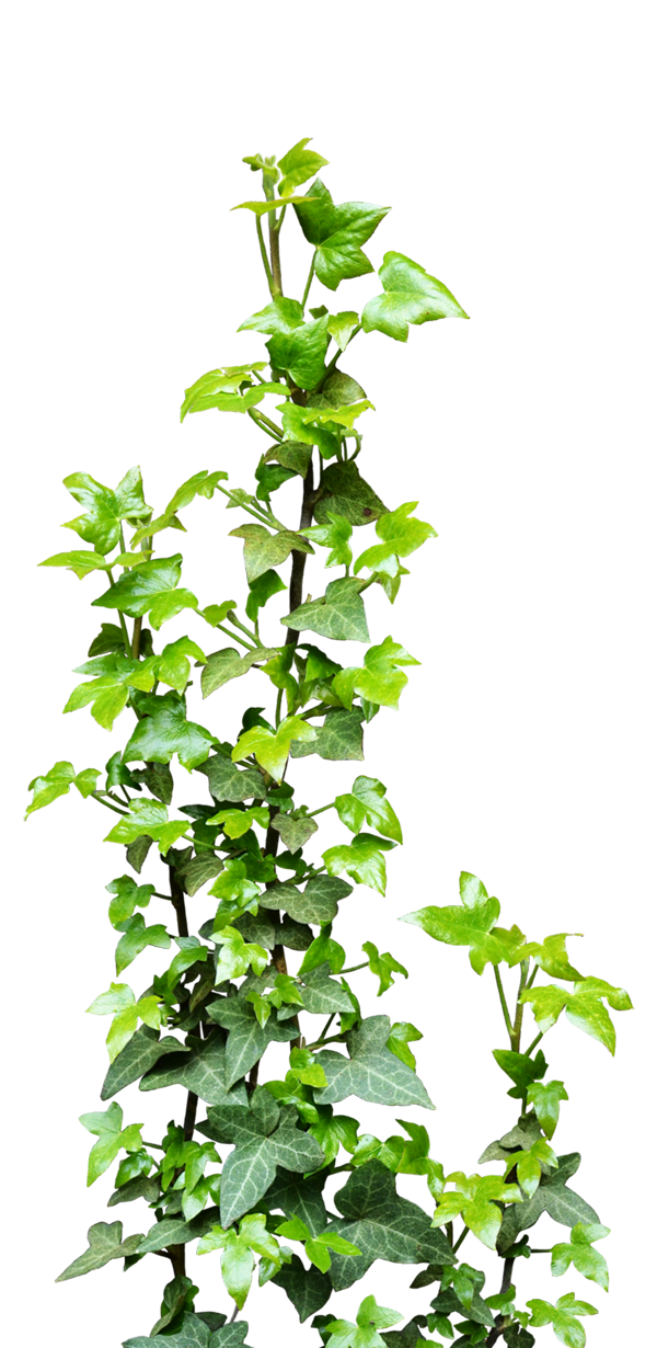 Ivy Vine Png Transparent