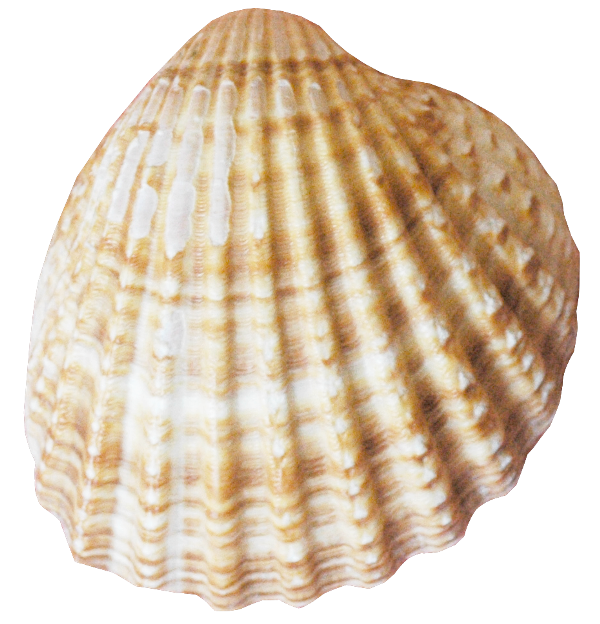 Knurled Flat-lined Conch Image  image #48541