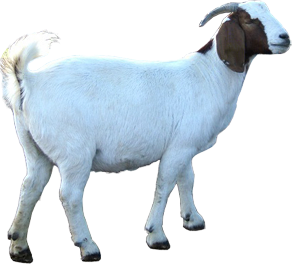 korban kambing, kenduri korban, eid qurban