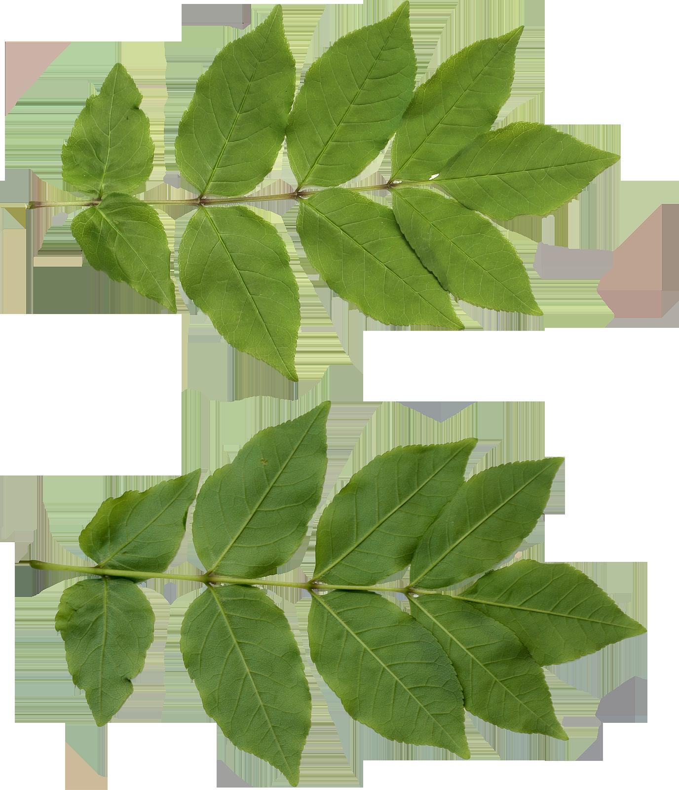 Leaf Png image #38619