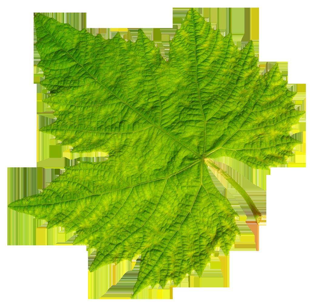 Leaf Png image #38624