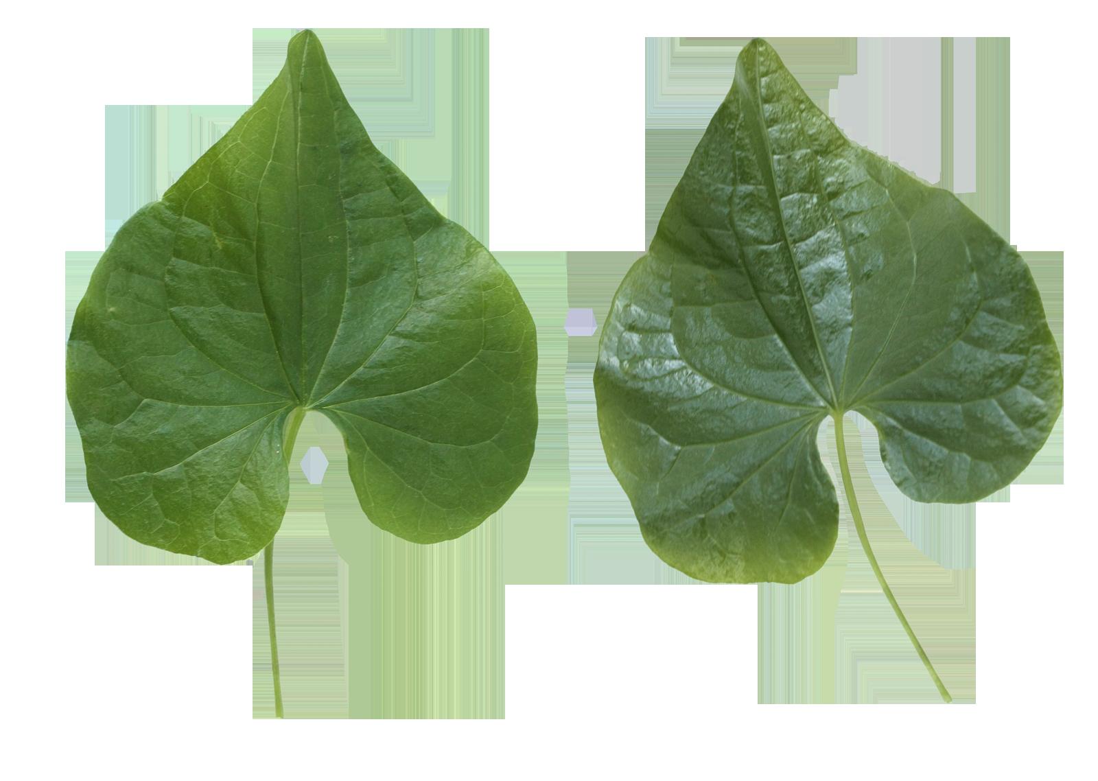 Leaf Png image #38626
