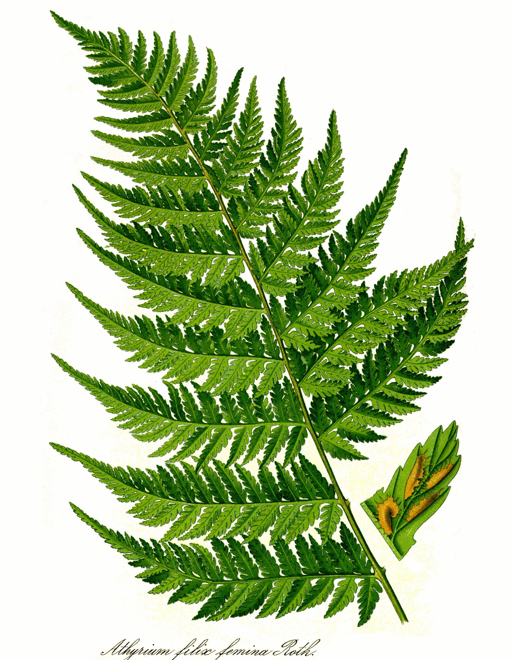Leaf Png image #38632