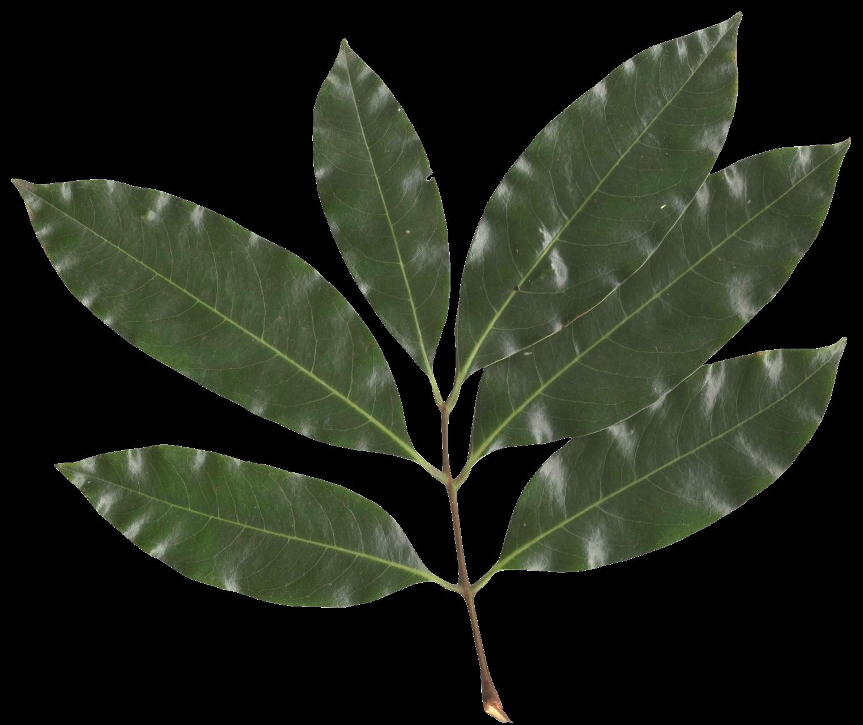 Leaf Png image #38612