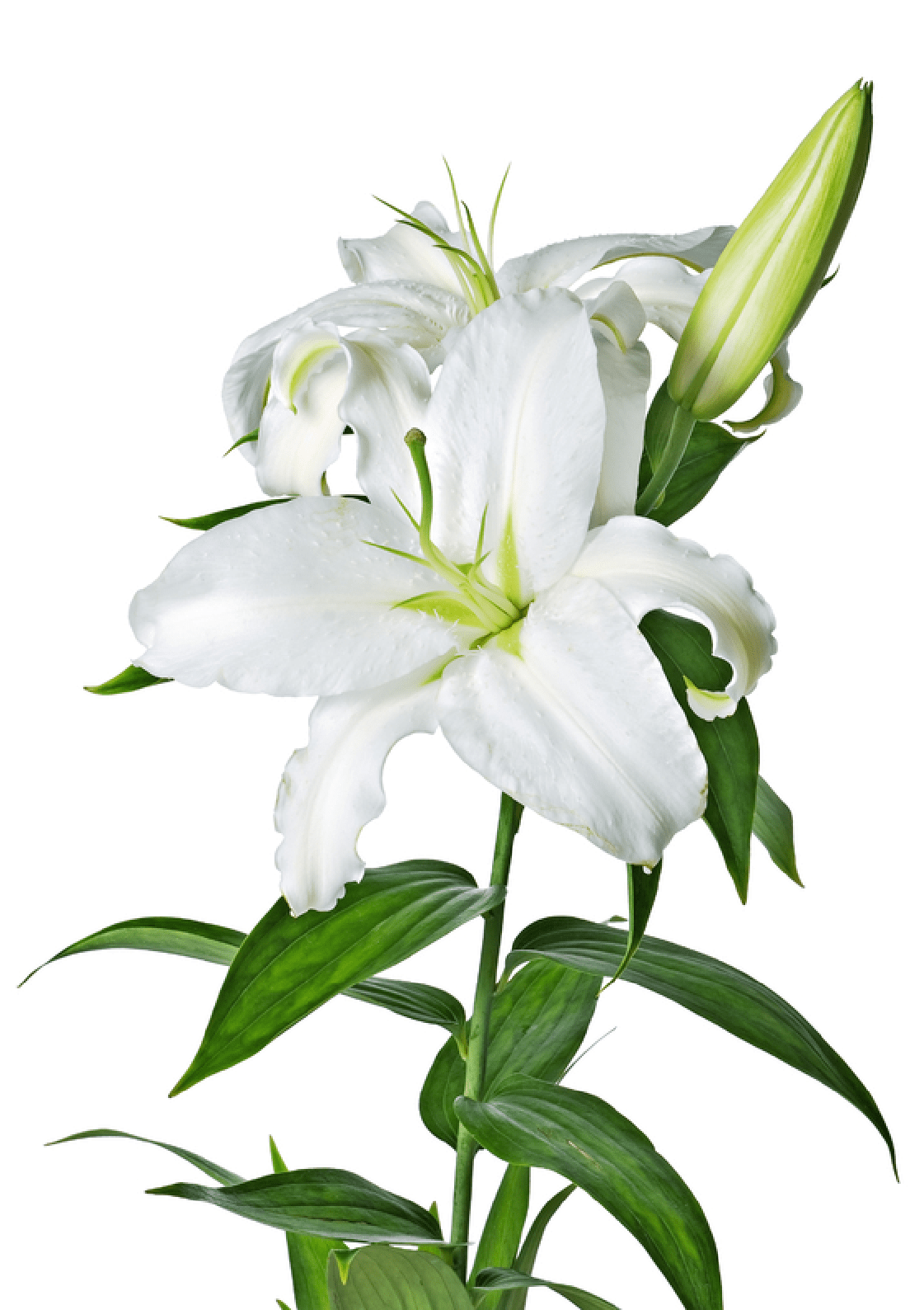 Lily Flower Transparent Png Pictures Free Icons And Png Backgrounds