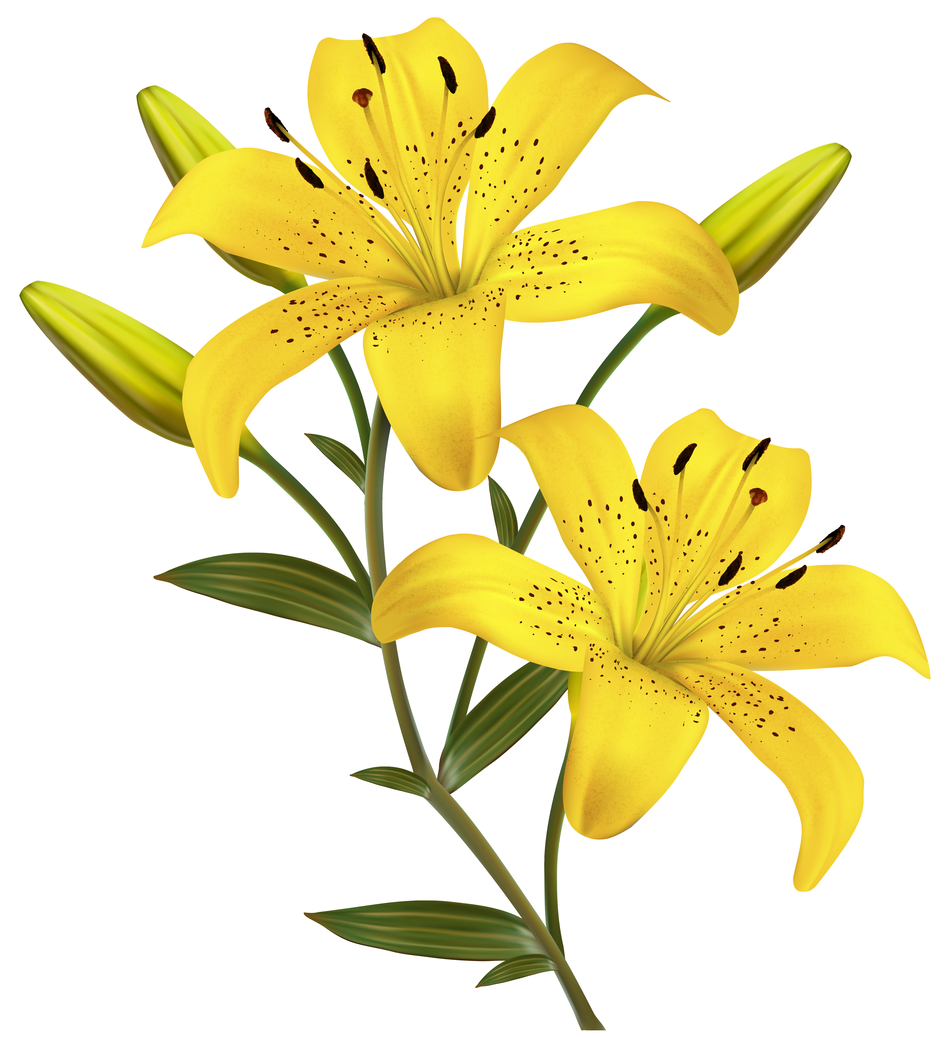 Lily PNG Clipart