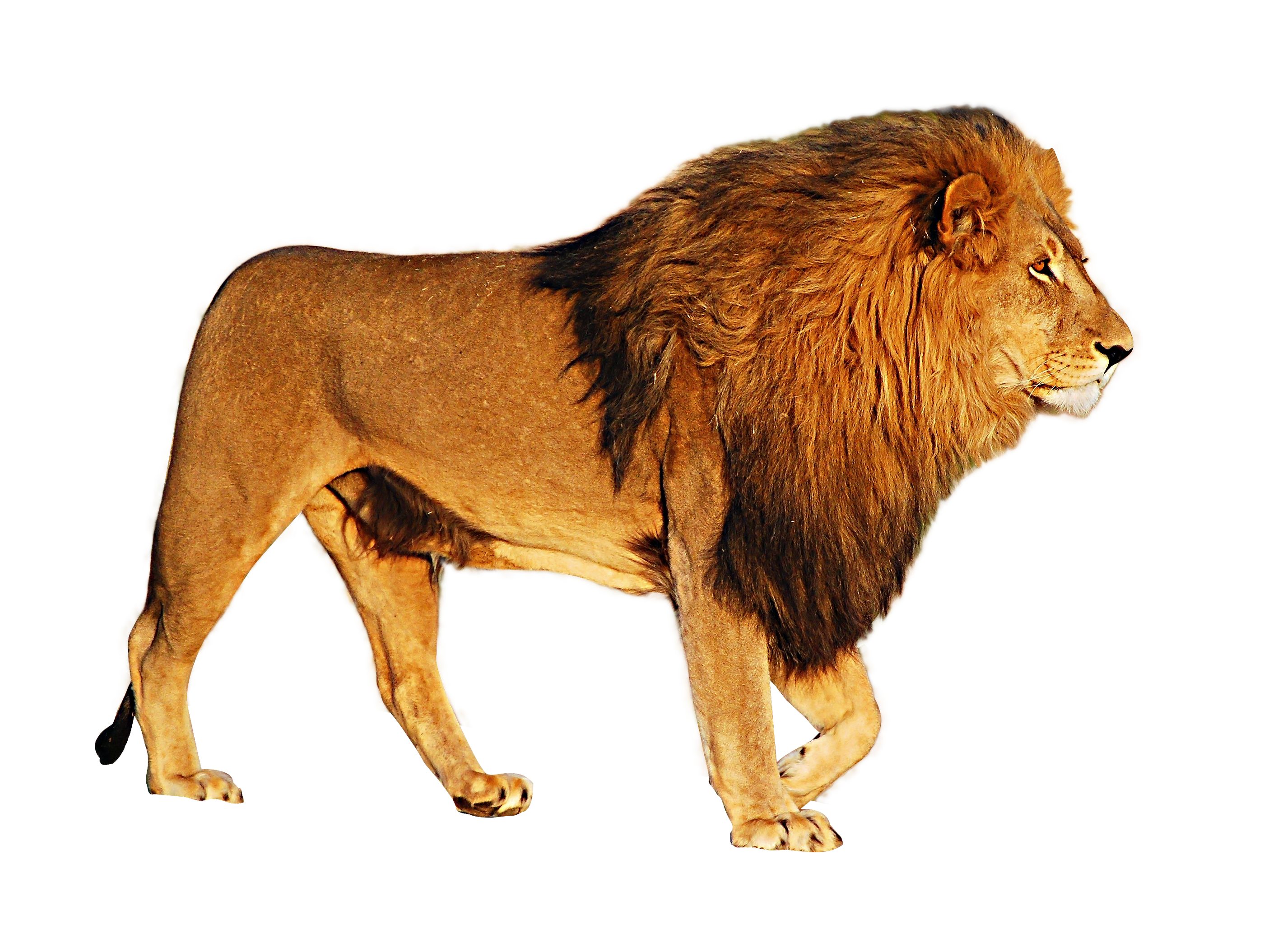 PNG Free Download Lion Head