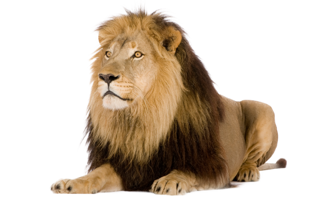 Lion Picture Png image #42290
